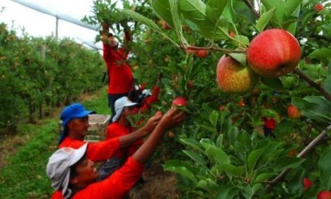 Colheita de maçã deve gerar emprego para 5 mil índios do Estado nesta safra